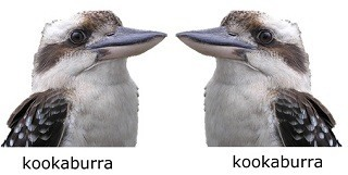 two kookaburras facing each other